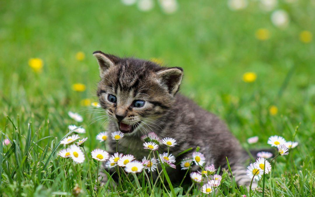 Quelles sont les choses à savoir pour préparer l'accueil d'un chaton ?